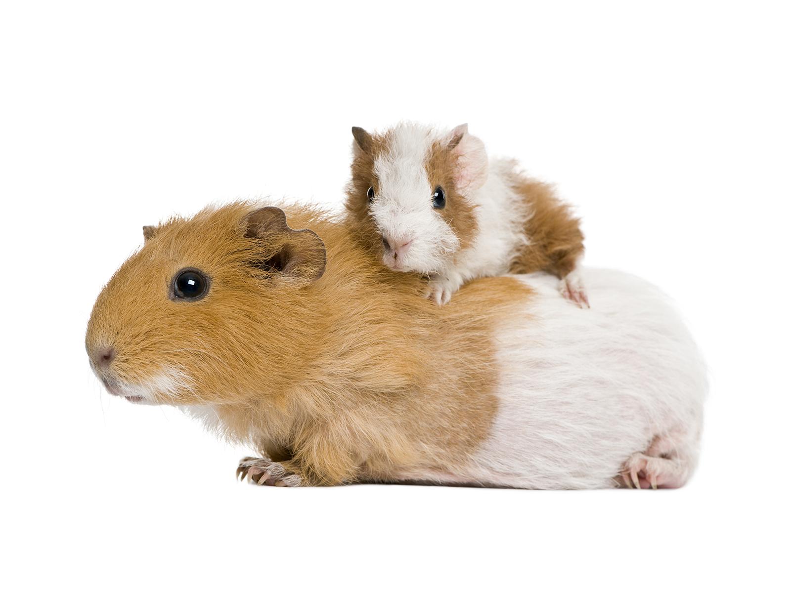 лечение морских свинок на дому